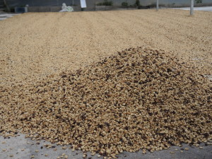 fase essicazione caffe costarica