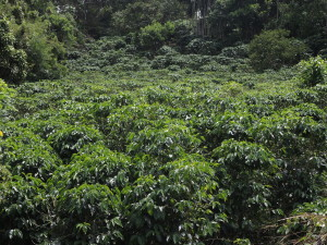 piantagione caffè costa rica